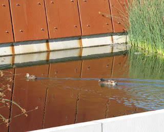 Ducks in the Graving Dock at Waitangi Park