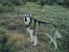 Shasta Howls