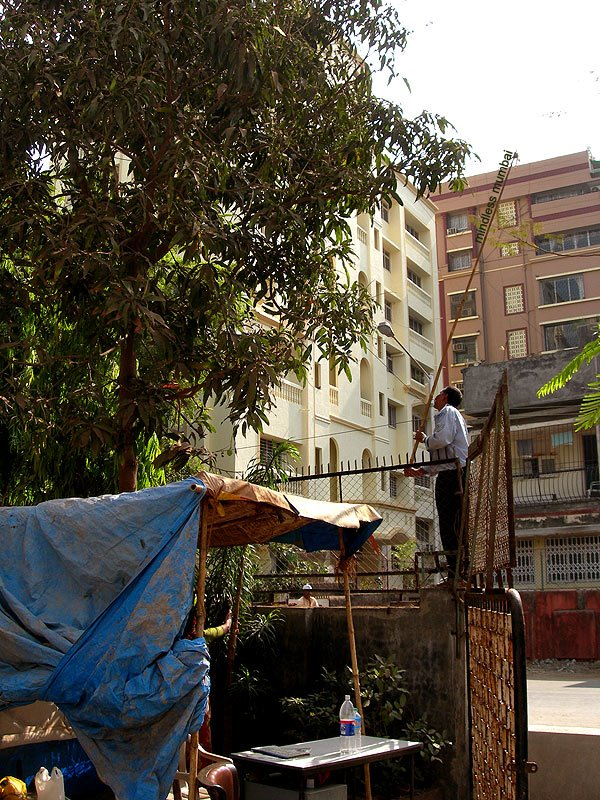 plucking mangoes from a tree in mumbai by kunal bhatia