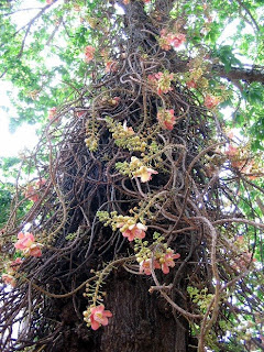 Transient lives nagalinga or cannonball flower most of you from madras or the south of india know this tree and must have seen it before for those who havent this flower is called nagalinga because mightylinksfo