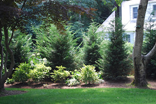 Royal Lawn Landscaping Leyland Cypress Used As A Privacy