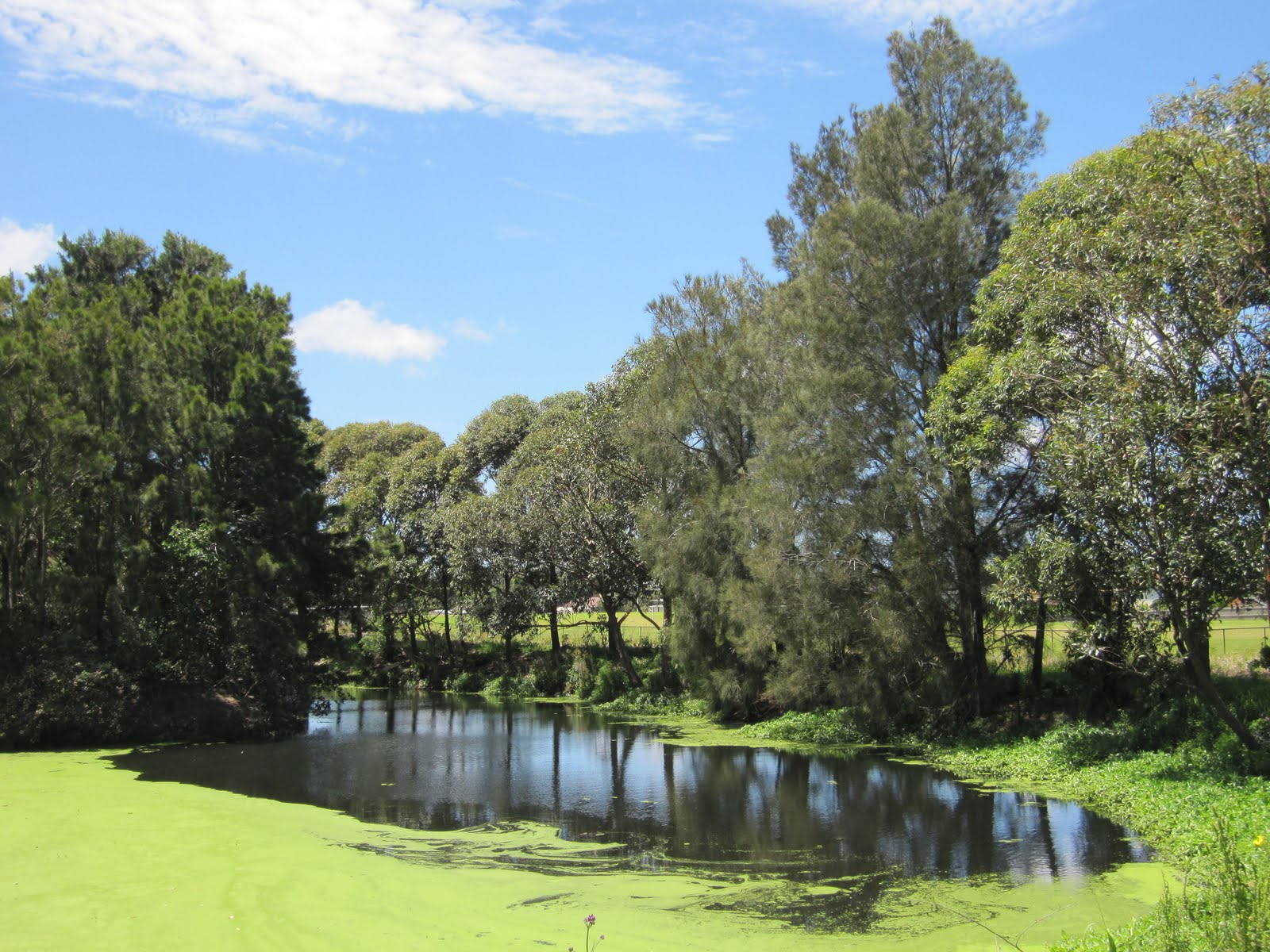 I Was Driving Past Bicentennial Park At Rockdale Last Week And Noticed That These Algal Blooms Have Covered A Large Proportion Of The Ponds Here