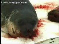 Canada kill seal