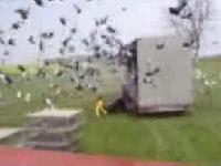 野放5000隻鴿�的壯觀場面