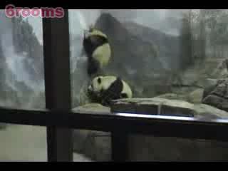 越獄風雲之熊貓真實版