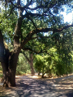 oak trees near Stanislaus River, Riverbank, CA
