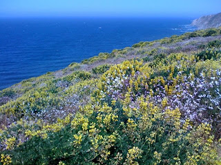a hillside covered in yellow lupine and wild radish in bloom