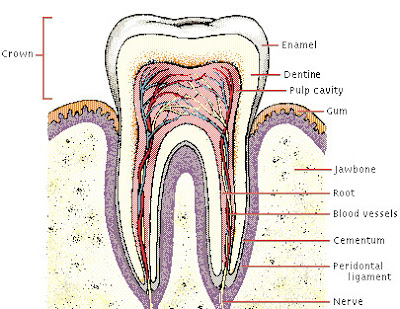 human-teeth-structure-cosmetic+dentistry+photo