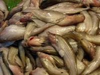 yang paling atas namanya ikan belido (ikan ini enak ban