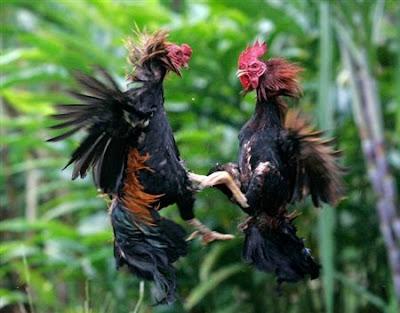 In-flight Cocks Fighting
