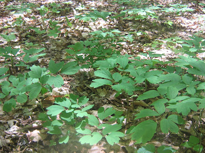 how to take black cohosh to induce labor