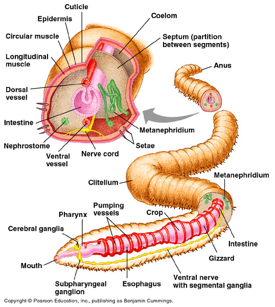 Body systems of humans crayfish pigs and earthworms