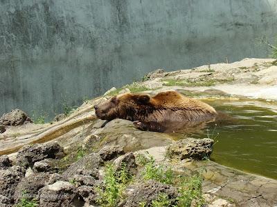 Кафява мечка във водата на прохлада