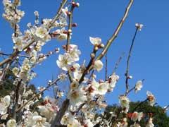 落合総合公園内の梅