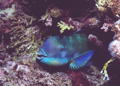 sleeping parrot fish