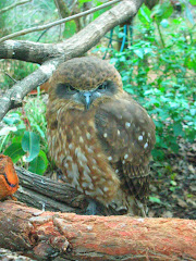 southern bobook owl