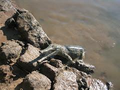 freshwater croc, the Kimberley
