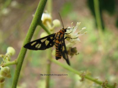 Yellow Moth With Black Stripes Rws Photo Blog