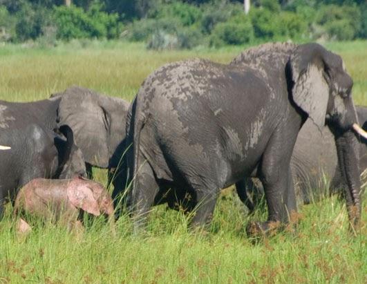 Elephants Animal Animals Calf: Albino Pink Elephant Calf