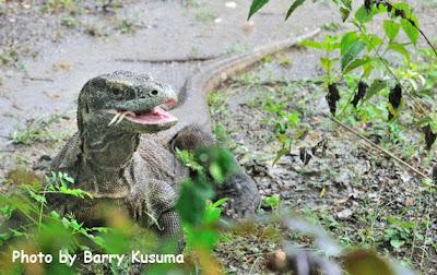 Pulau Komodo, New 7 Wonders of Nature.