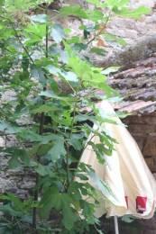 Cordes sur Ciel : Un figuier dans la cour de la maison Gaugiran.