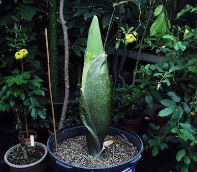 amorphophallus titanum. amorphophallus titanum or