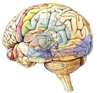 Everything About Food For Brain