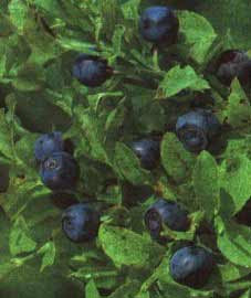 Everything About Bilberry Foods