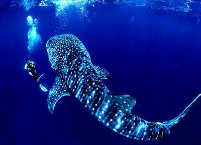 http://bp2.blogger.com/_Z4hac8TOJH8/Refsl_xKiZI/AAAAAAAAAqc/yeAp-Y3AVdU/s400/Whale-Shark-01.jpg