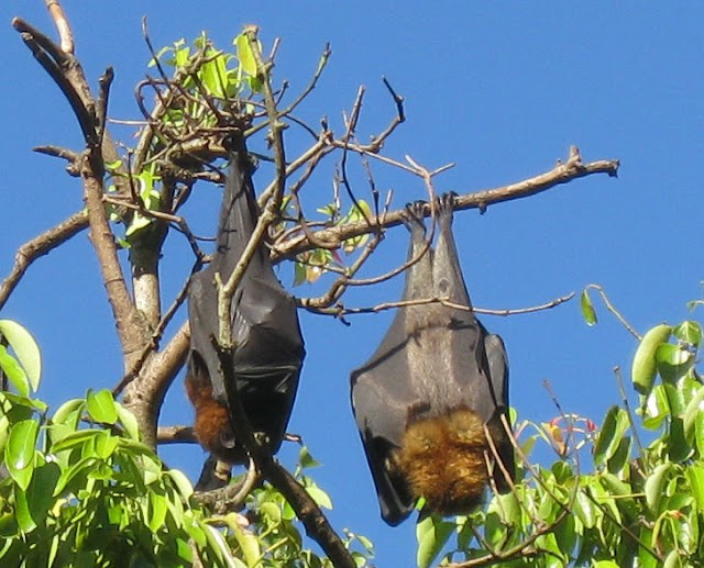 Bat Colonies In Australia Could Wipe Out A Mango Farm In One Night