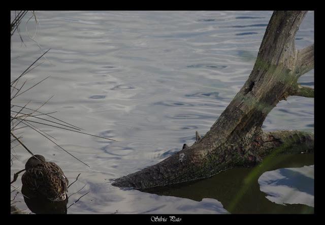 Ánade real lago de Mera