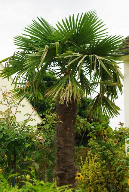 flore en valois palmier de chine trachycarpus fortunei hook h wendl. Black Bedroom Furniture Sets. Home Design Ideas