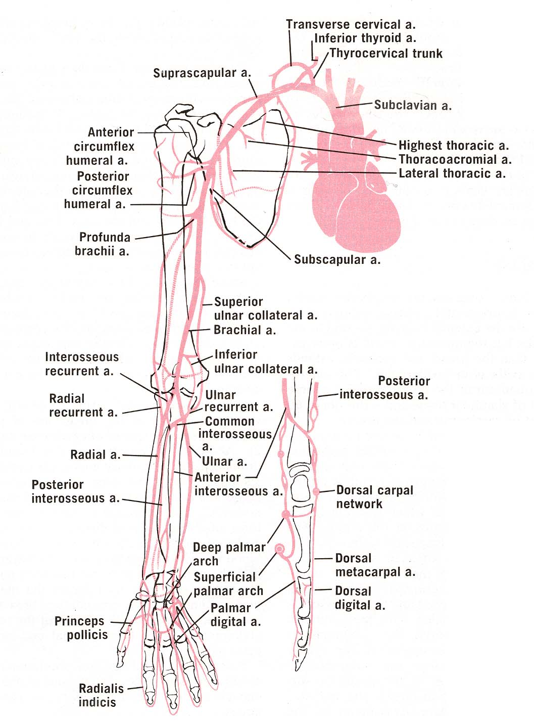 Labeled Diagram Of Abdominal Vasculature F150 Wire On Radiology Arteries Upper Limb