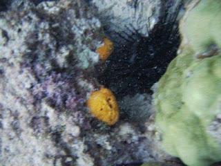 Tinian Sea Urchin