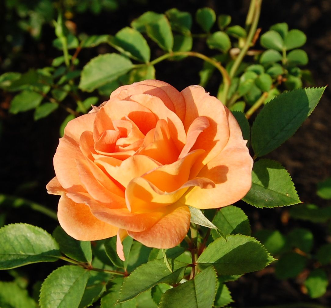 Jeannie's Fairy Rose Louisiana Garden: F.J. Lindheimer Rose