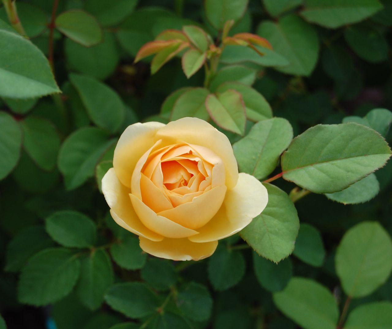 Jeannie S Fairy Rose Louisiana Garden The Lovely Graham