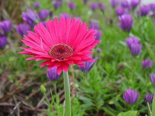 a gerbera daisy in my yard
