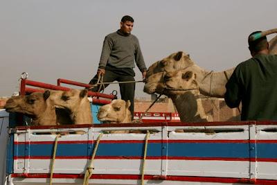 kamelerna gör så ibland
