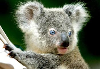IL KOALA DAGLI OCCHI AZZURRI Koala+occhi+blu