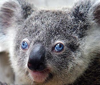 IL KOALA DAGLI OCCHI AZZURRI Koala+occhi+blu+2