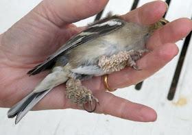 Papillomatosis bird. comprimate worming - cysoft.ro
