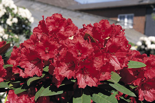 [Rhododendron]