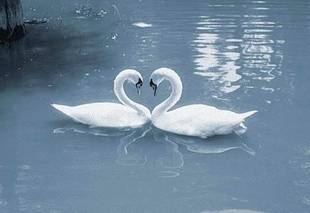 Cisnes Enamorados Dibujos Imagui