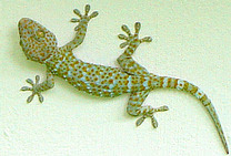 Gecko called Too-geh