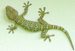 Too-Geh (Tokay) gekko Gecko