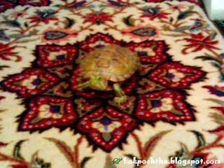 لاک پشت من بر روی فرش ایرانی