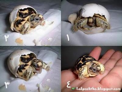 تصویر تولد یک لاک پشت