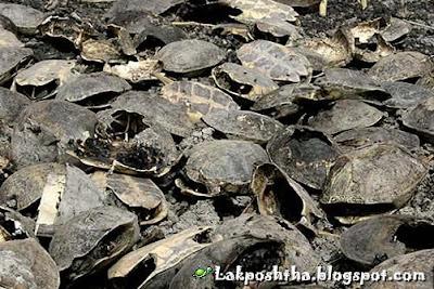 سوختن لاک پشتها در تالاب پریشان
