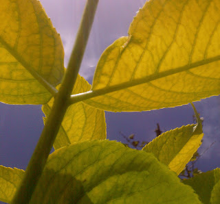 Golden Elderberry leaves