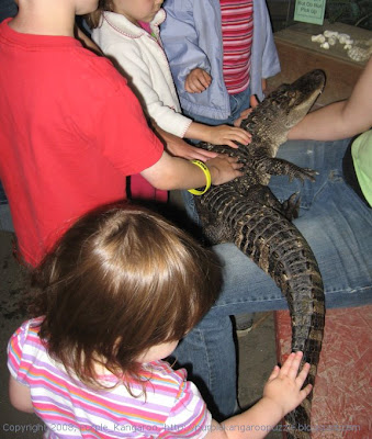 petting an alligator